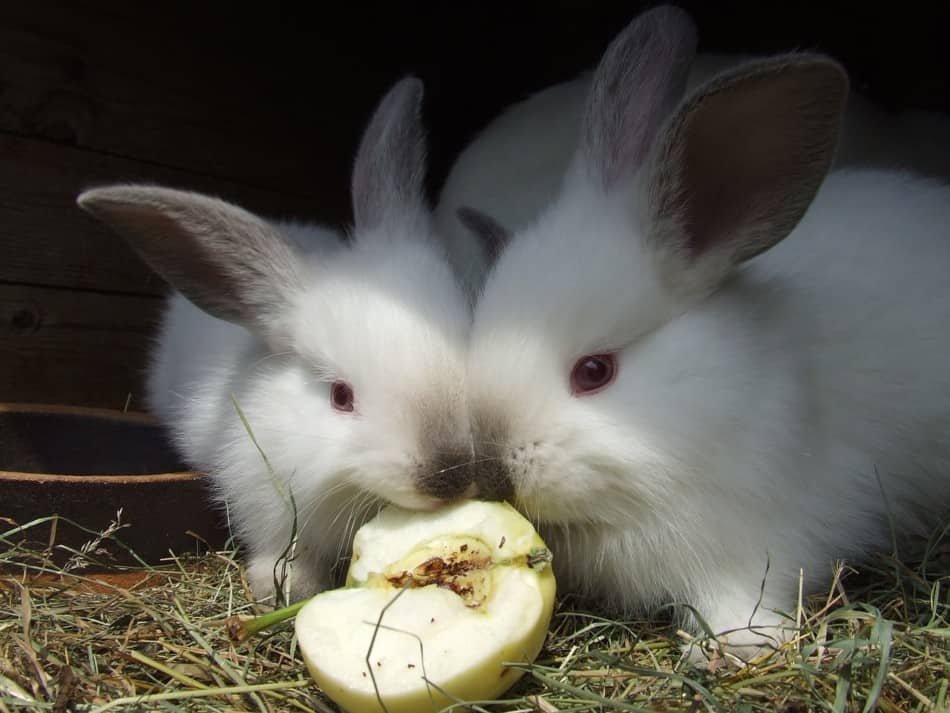 two rabbits eating an apple