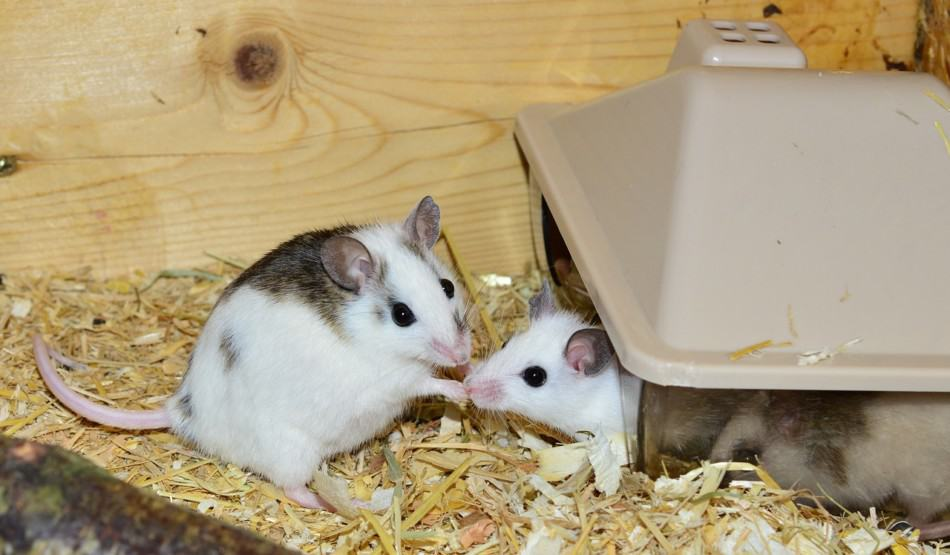 two cute pet mice