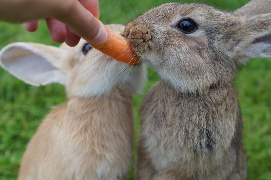 two rabbits eating carrots