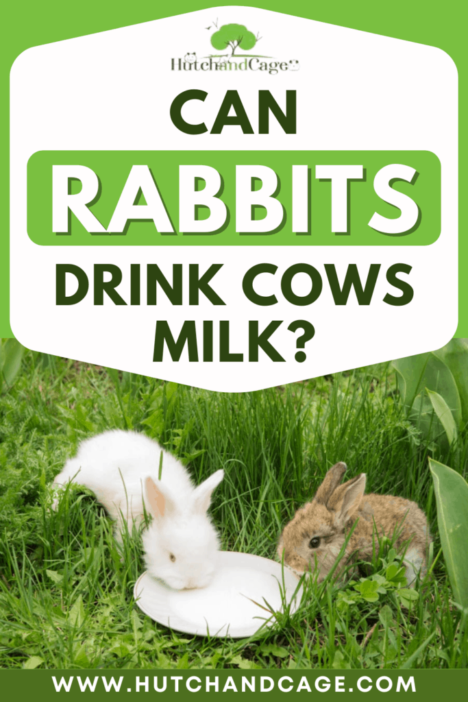 Can Rabbits Drink Cows Milk