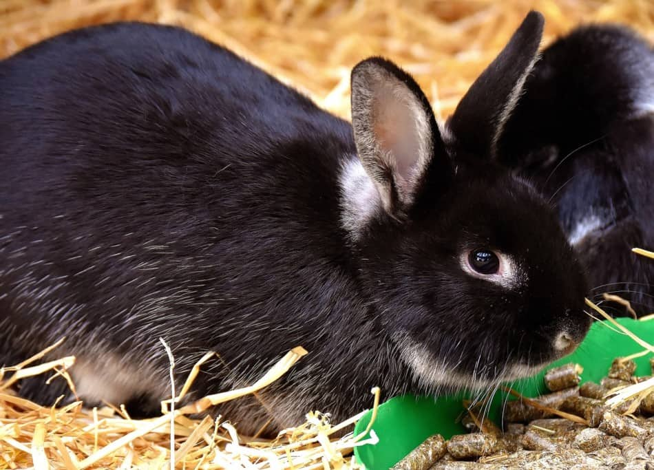 Best Rabbit Food for Holland Lops 2