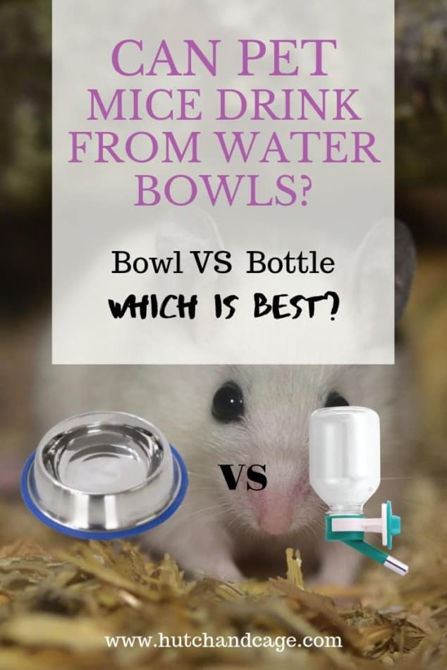 Can Mice Drink From A Bowl? Should They Use A Bottle 1