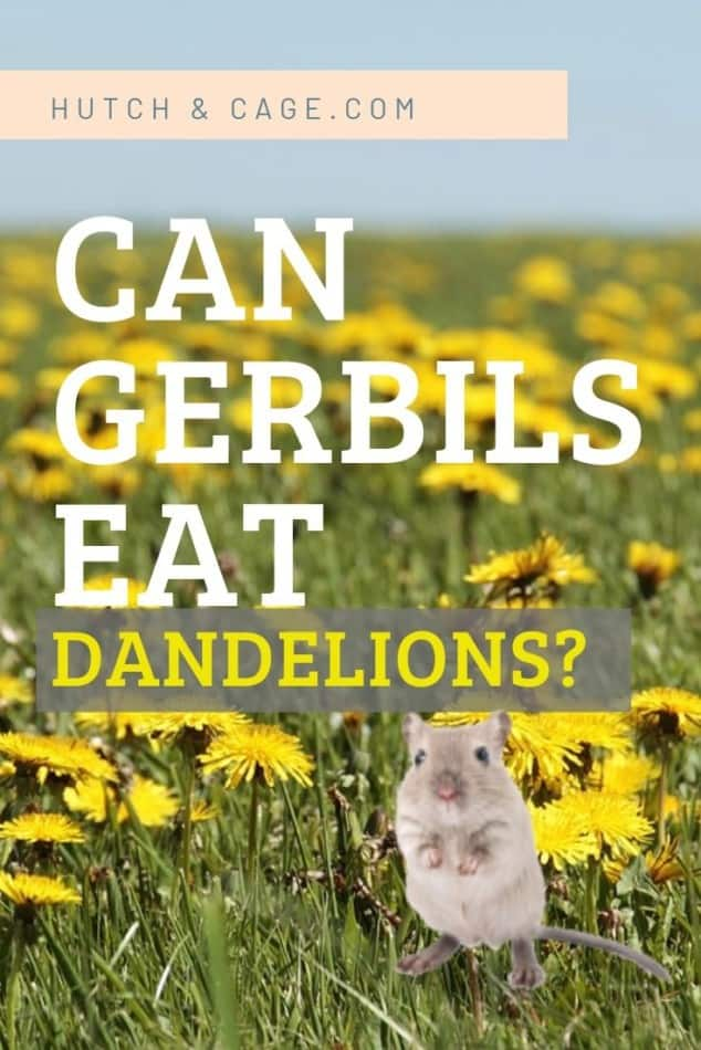can gerbils eat dandelions