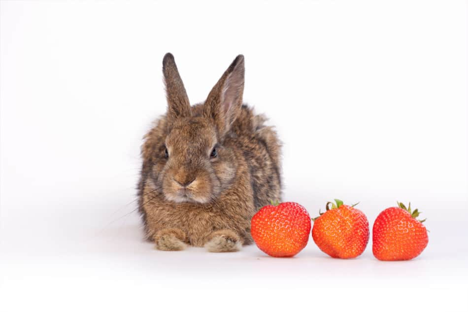 rabbit eating strawberries
