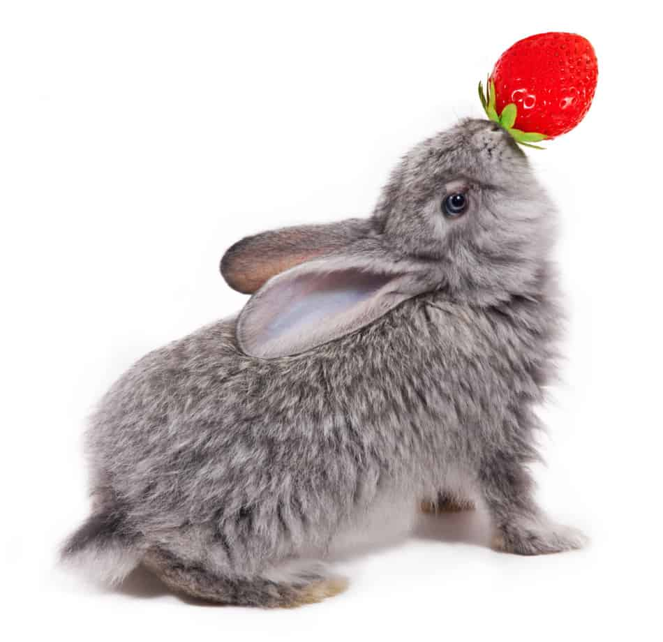 rabbit eating a strawberry