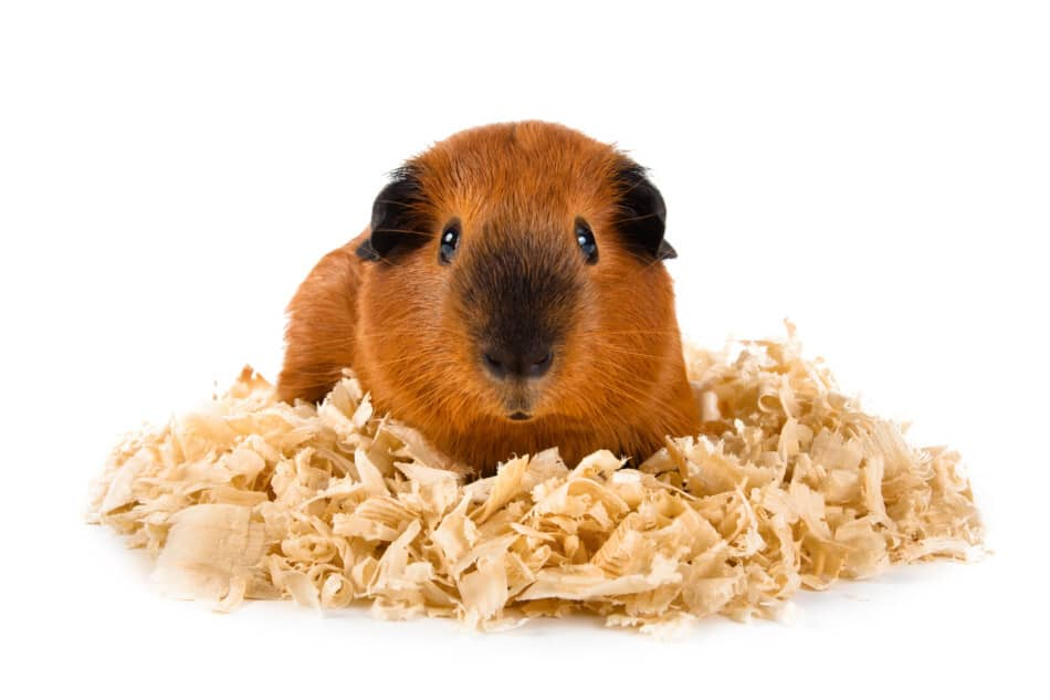 Can Guinea Pigs Sneeze? Should you be worried if they sneeze! 2