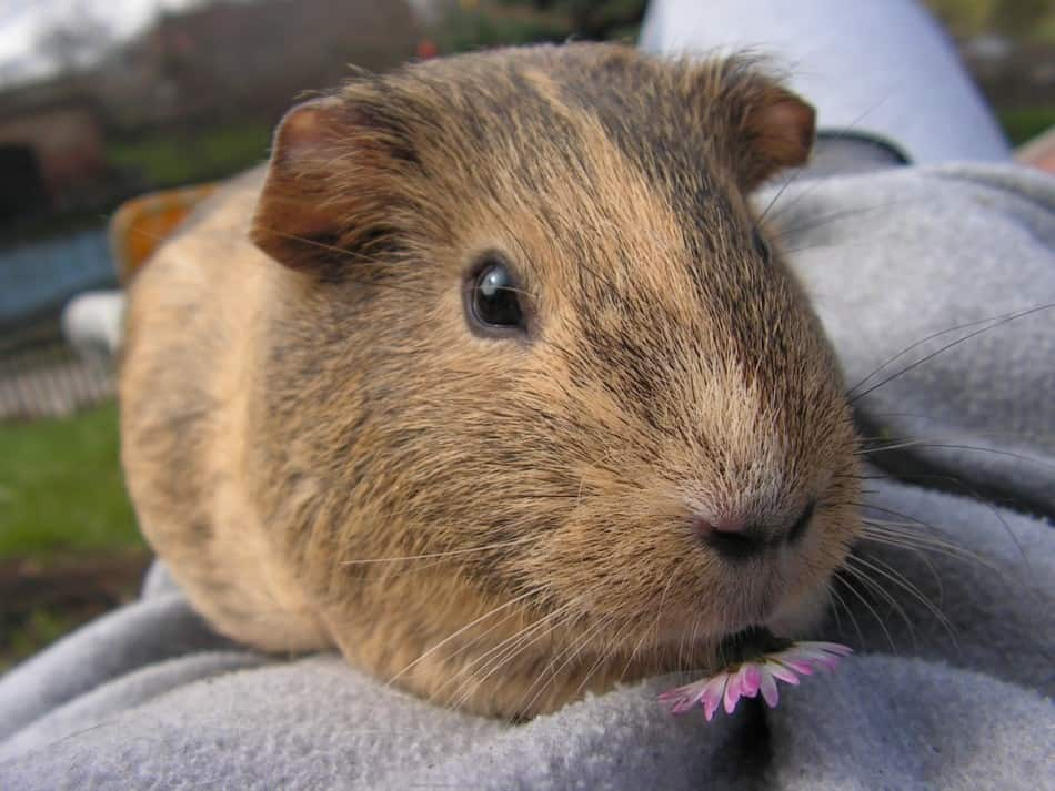 guinea pig with a flower