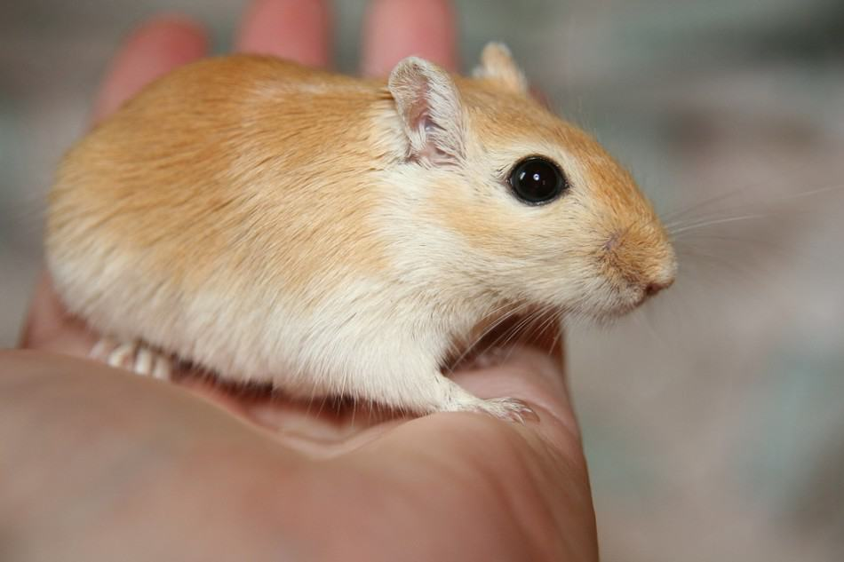 gerbil sitting on a hand