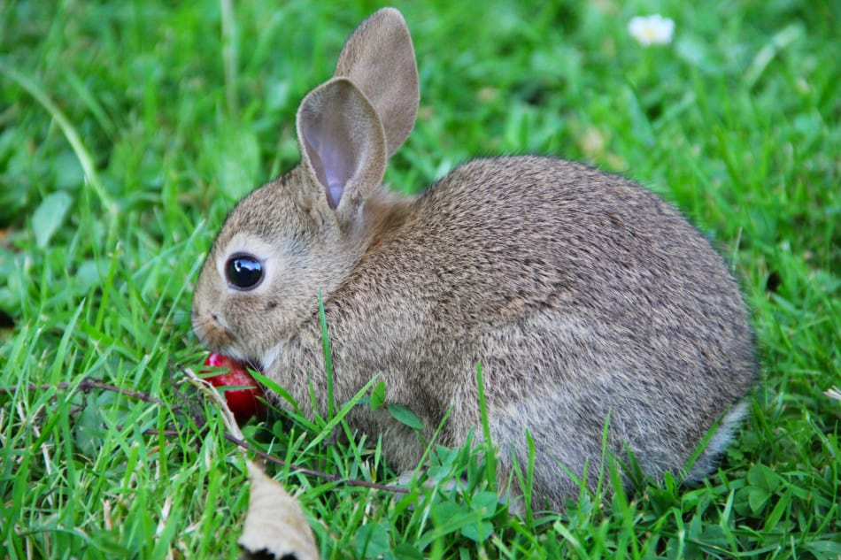 rabbit eating a cherry