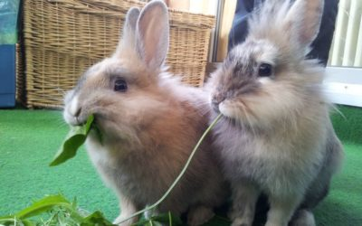 two rabbits eating spinach