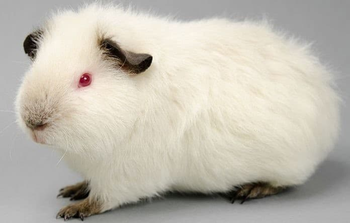 Himalayan Guinea Pig: Diet | Size | Breeding | Housing | Care Guide 1