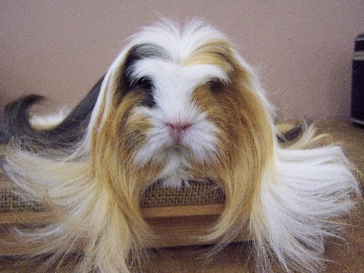 Sheltie Guinea Pigs | Diet | Size | Breeding | Housing | Care Guide 4