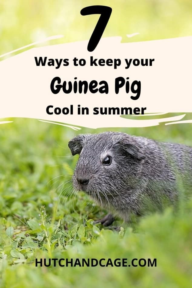 7 WAYS TO KEEP YOUR GUINEA PIG COOL IN SUMMER