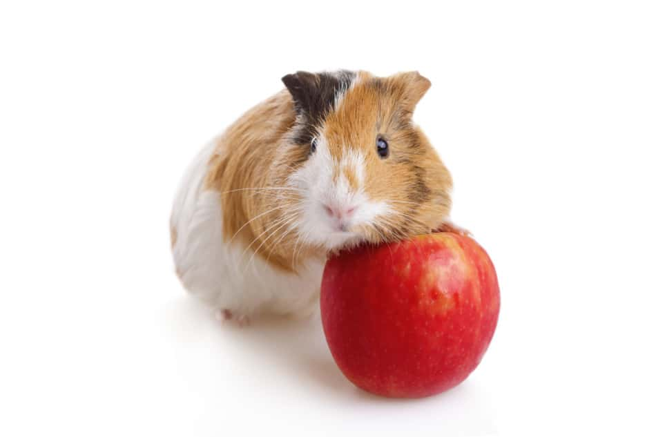 Can Guinea Pigs Eat Apple Cores? Pros & Cons Of Apple Cores 1