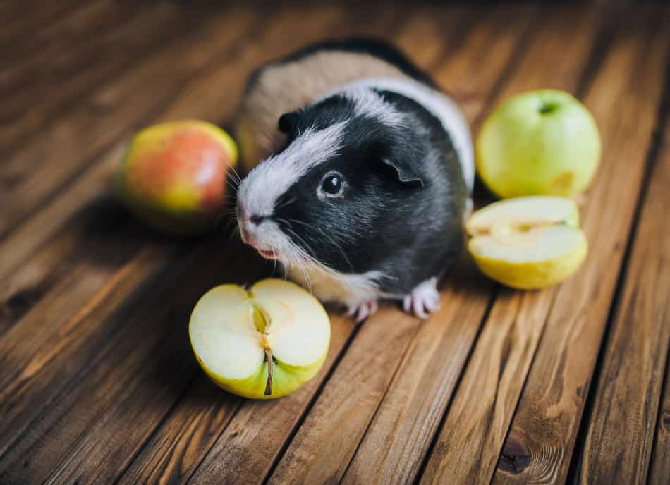 guinea pig eating apples