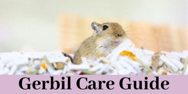 Gerbil Care Guide