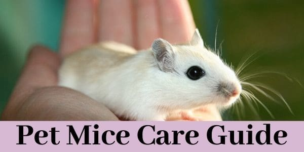 Pet Mice Care Guide