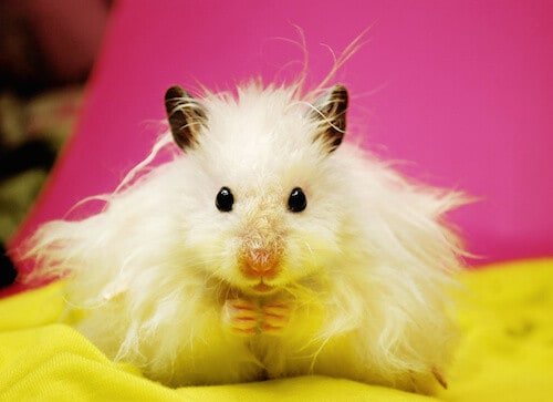 Teddy Bear Hamsters   21 Amazing Hamster Facts! 2