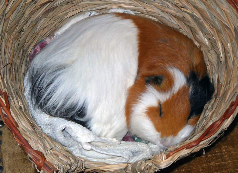 How much do guinea pigs sleep