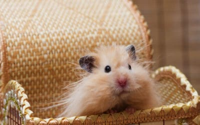 21 teddy hamster facts