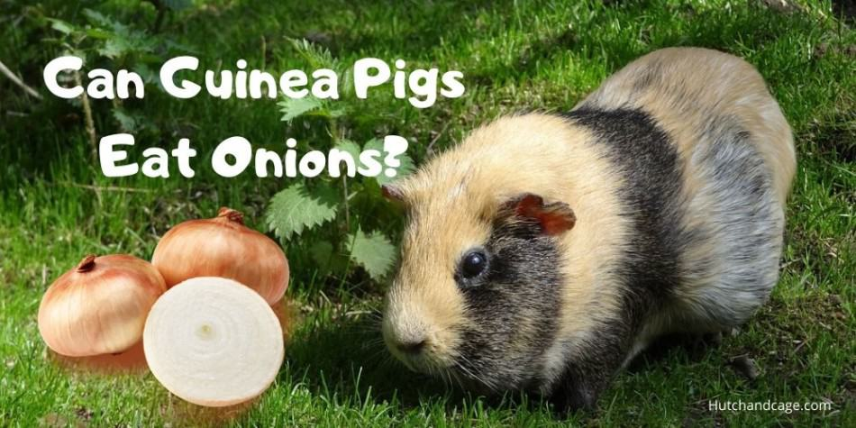 guinea pig with an onion