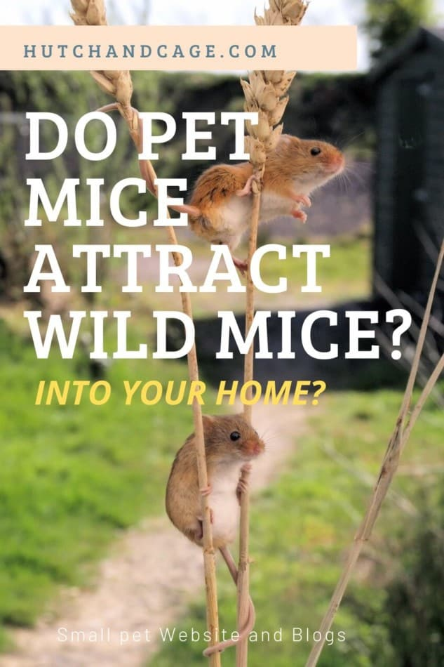 Do Pet Mice Attract Wild Mice Into Your Home? 1