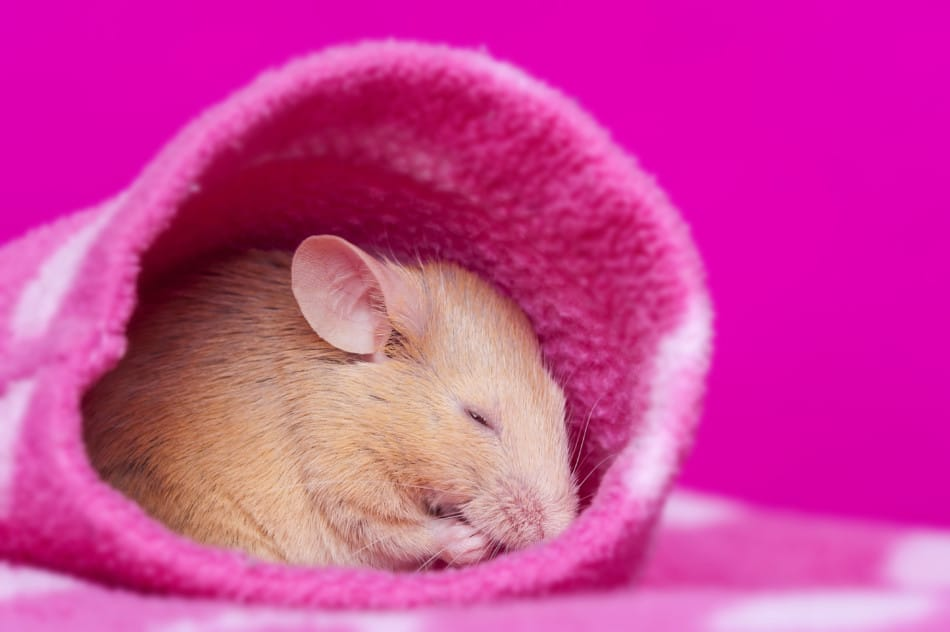 Pet Mouse Sleeping