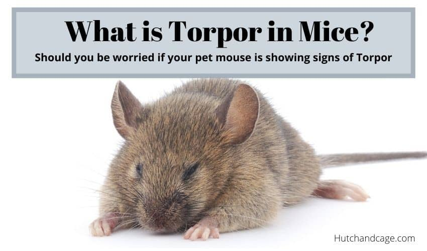 what is torpor in mice