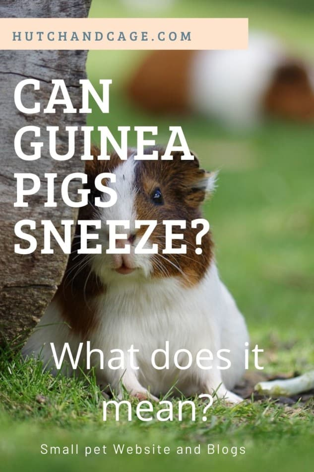 Can Guinea Pigs Sneeze? Should you be worried if they sneeze! 1