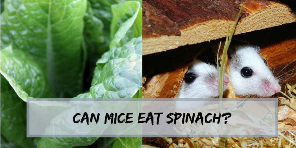 can mice eat spinach
