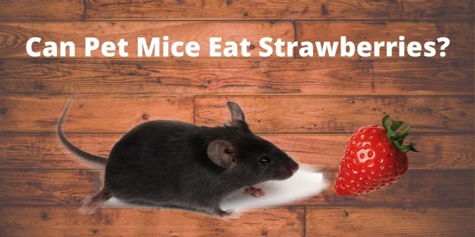 mouse eating strawberries