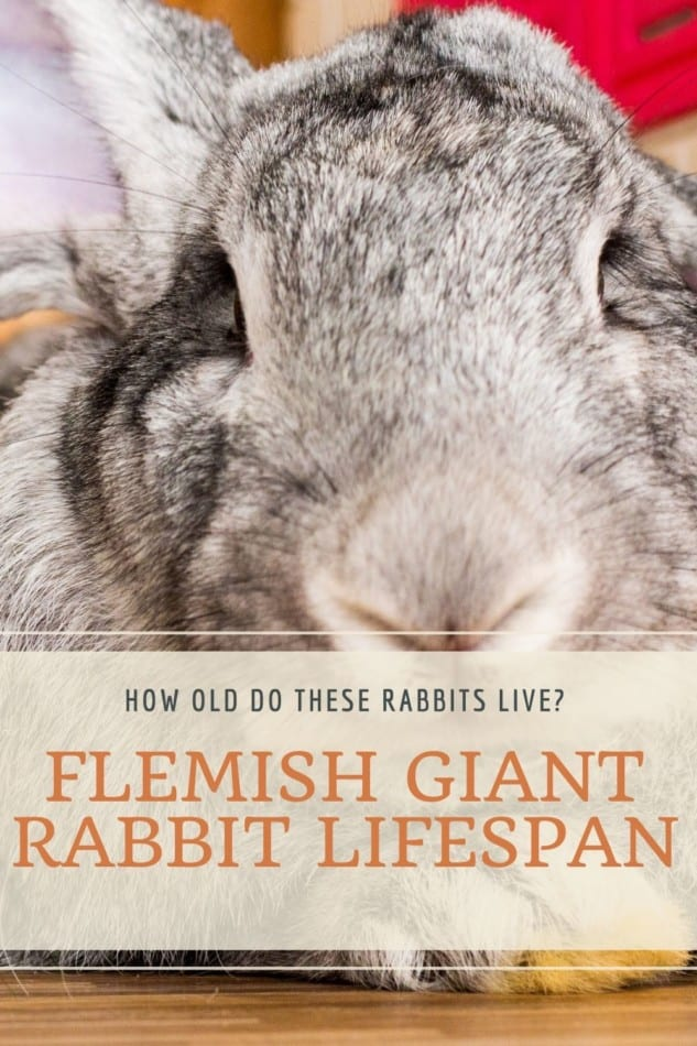 What Is The Lifespan of A Flemish Giant Rabbit? 2