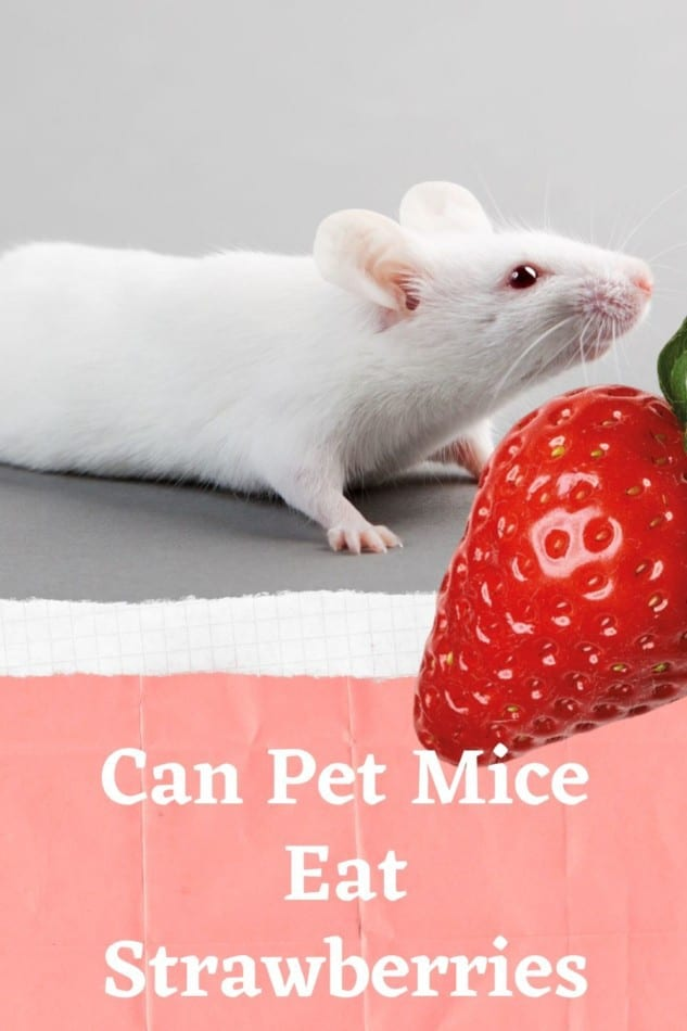 can pet mice eat strawberries?