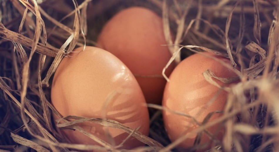 How do I know if my chicken eggs are fertile
