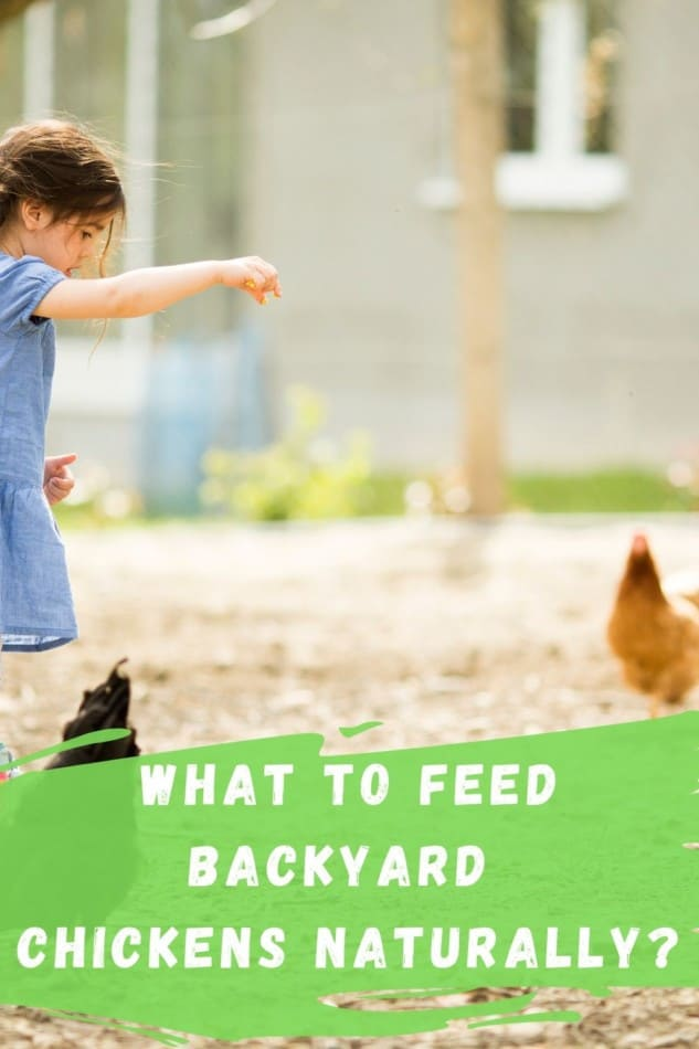 What to feed chickens naturally? 1