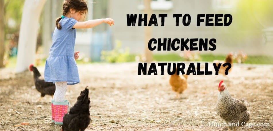 What to feed chickens naturally?