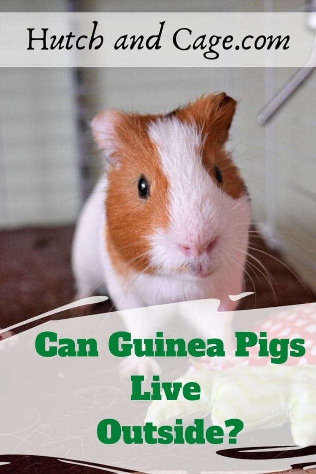 Can guinea pigs stay outside? What Precautions should you take! 1