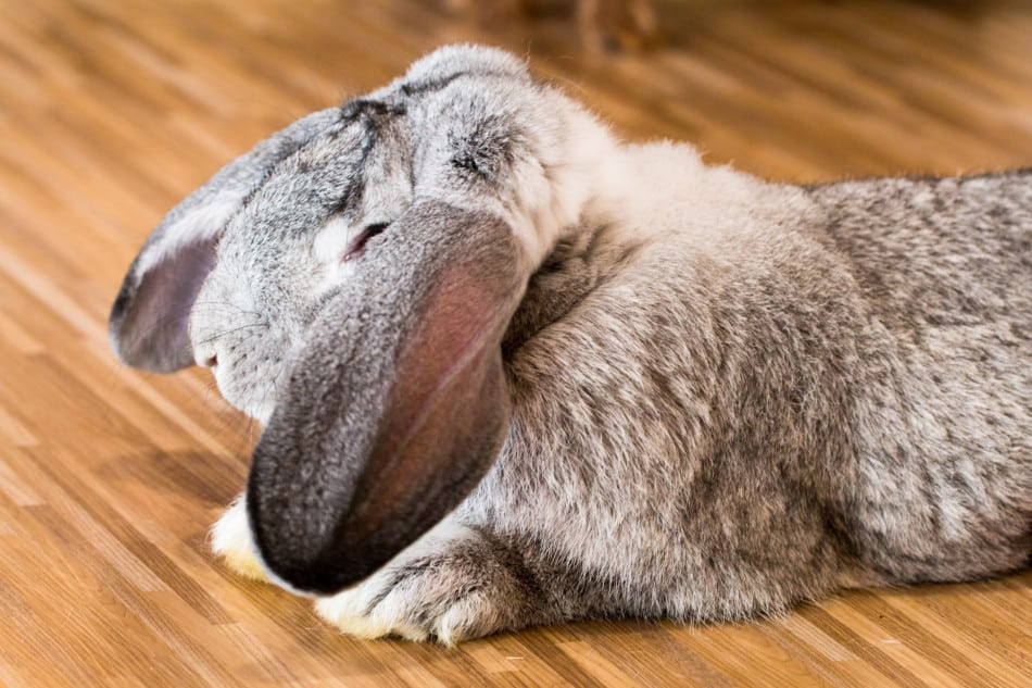 How Long Do Rabbits Sleep? 1