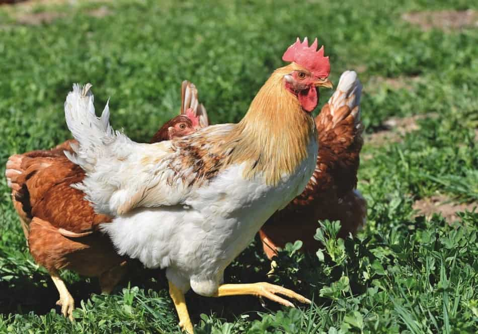 Keeping Chickens at Home | 31 Helpful Tips 10