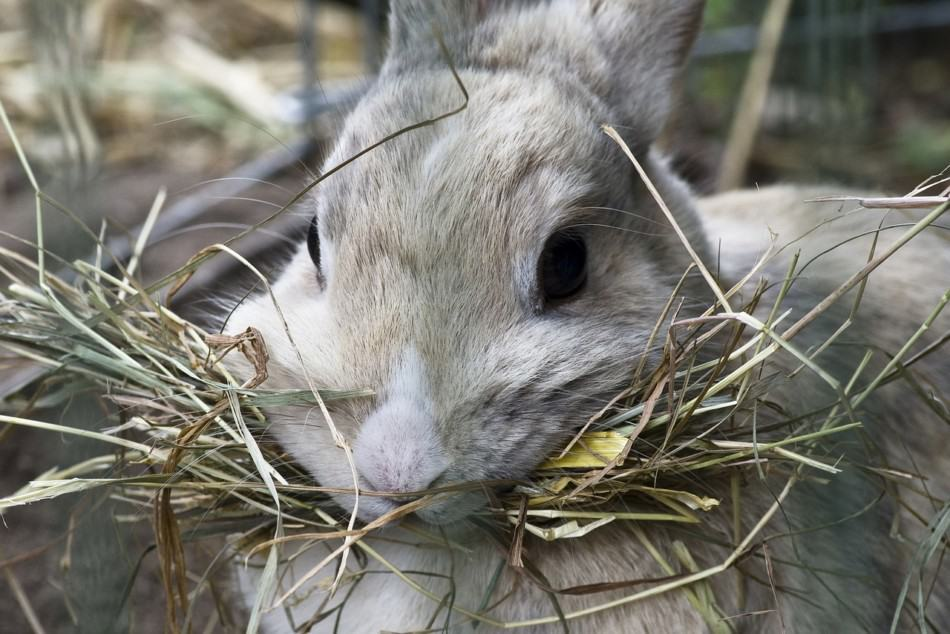 RABBIT EATING STRAW