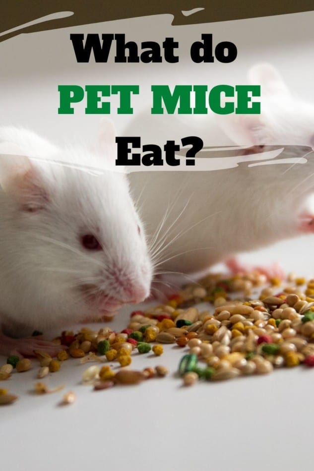 pet mice eating