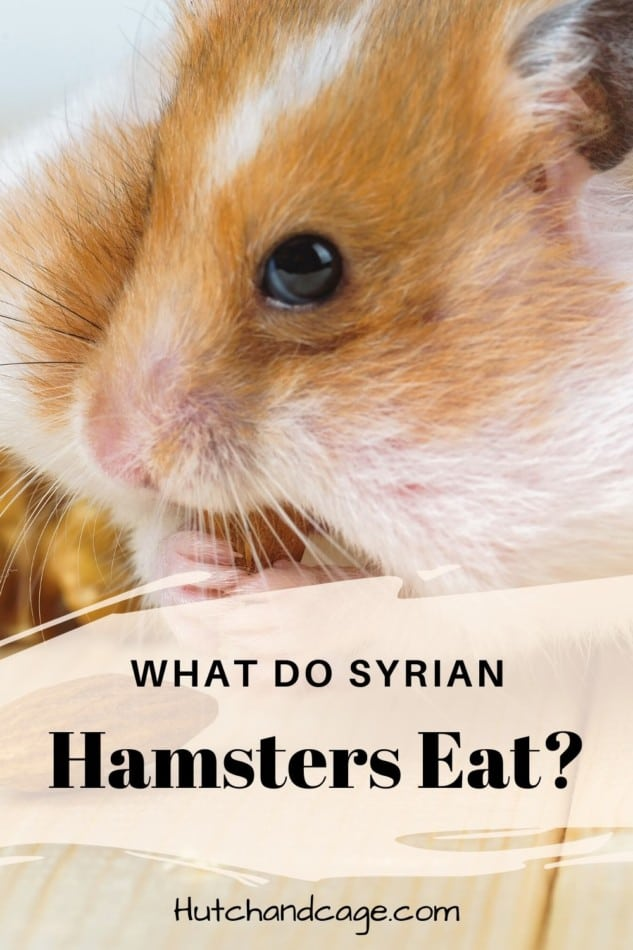 Hamster Diet: What can Syrian hamsters eat? 1