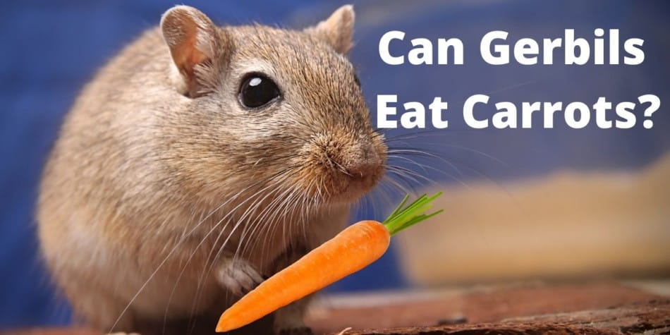 GERBIL EATING A CARROT