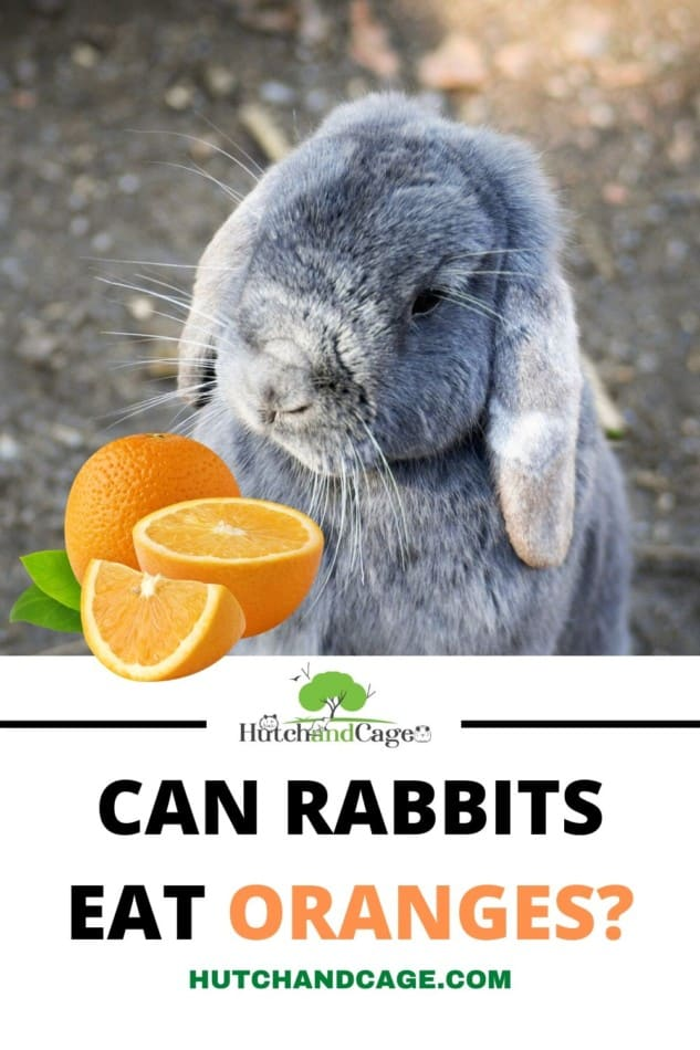 RABBIT EATING AN ORANGE