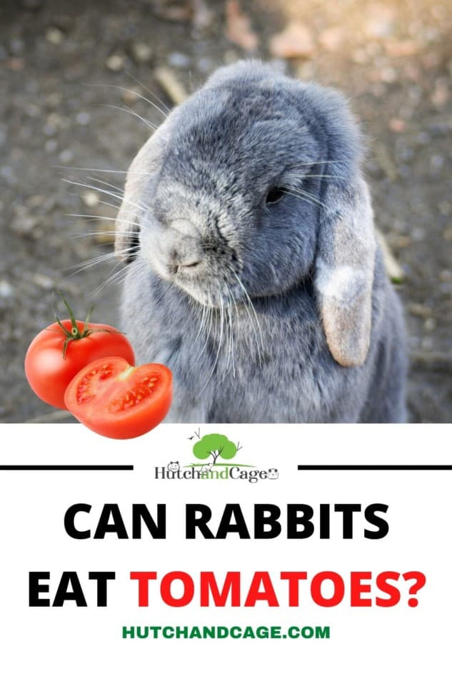 RABBIT EATING A TOMATOE