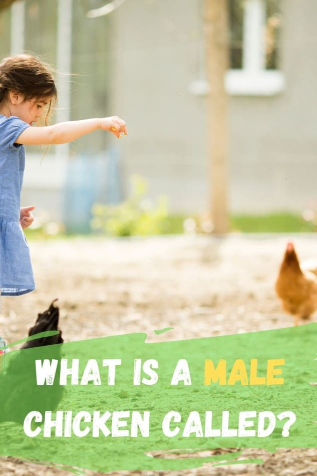 what is a male chicken called?