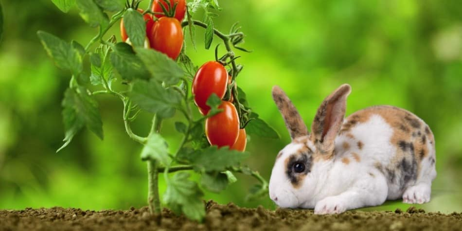 rabbit and tomatoe plant