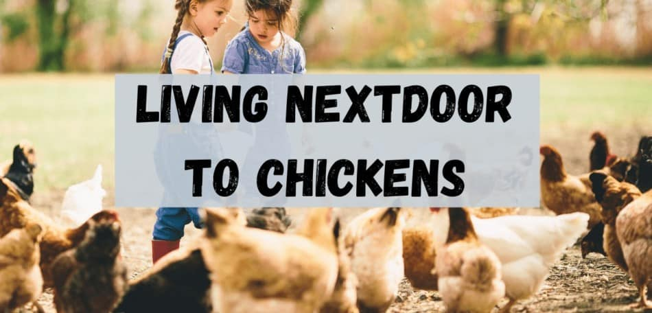 living next door to chickens