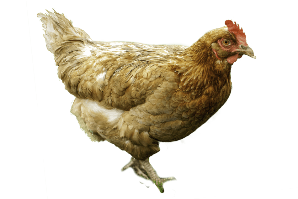 What is a Male Chicken Called? Glossary of Chickens 1