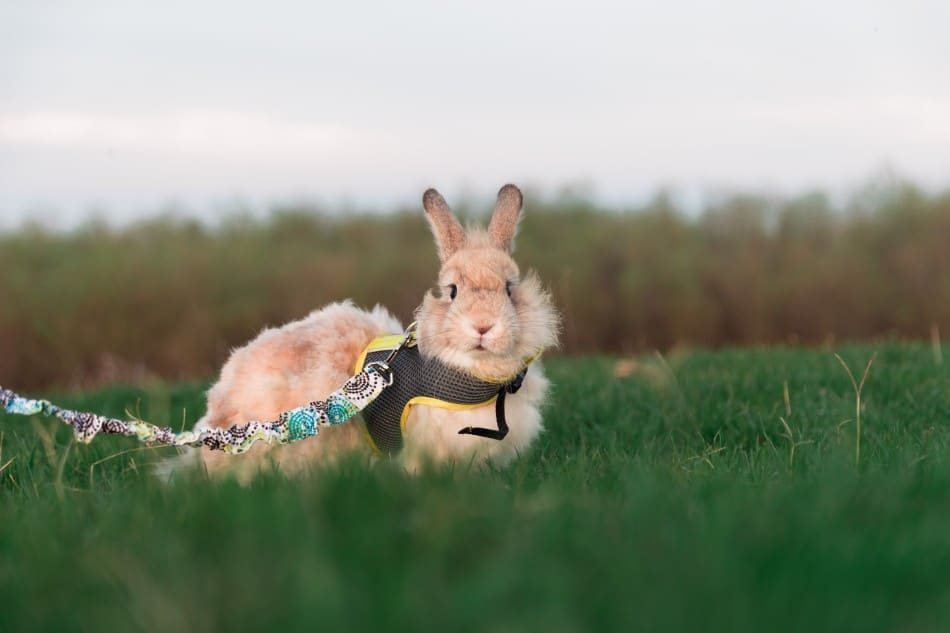 rabbit in a harness